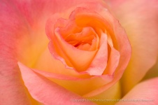 PInk & Yellow Rose, 10.24.16