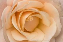Pale Apricot Rose, 12.13.16
