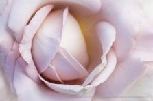 Pale June Rose, 6.23.15