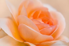 Pale_Orange_Rose,_11.6.14