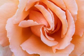 Pale Orange Rose, 5.25.18