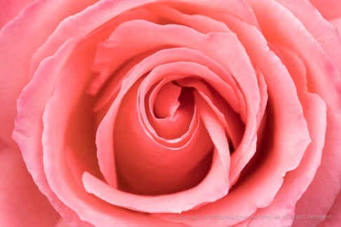 Pale Orange Rose (III), 1.2.18