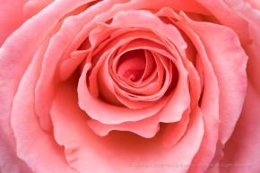 Pale Orange Rose (II), 1.2.18