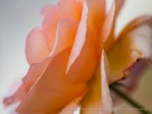 Pale_Orange_Rose_(II),_11.3.14