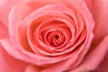Pale Orange Rose (I), 1.2.18