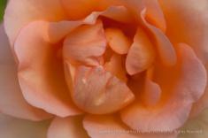 Pale_Orange_Rose_(I),_11.3.14