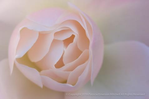 Pale_Pastel_Rose,_12.6.16