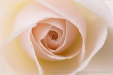 Pale_Pastel_Rose,_2.11.16