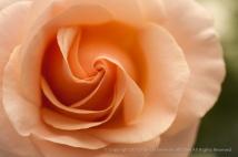 Pale_Peach_Rose,_4.15.14