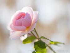 Pale_Pink_Rose,_11.17.14