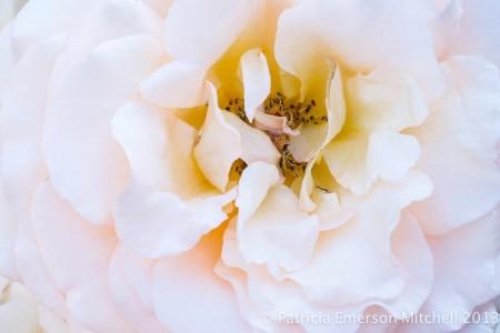 Pale_Rose