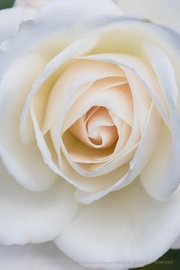 Pale Rose, 1.11.18