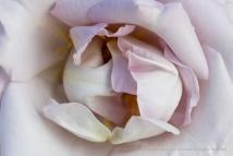 Pale Rose, 10.24.17