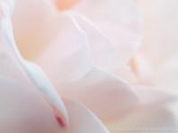 Pale_Rose,_11.25.13-2