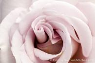 Pale_Rose,_11.4.13