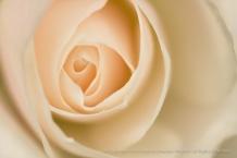 Pale Rose, 3.18.16