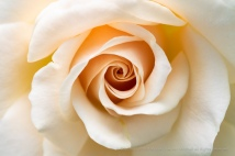 Pale_Rose_(II),_5.21.18