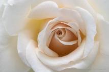 Pale_Rose_(I),_5.21.18