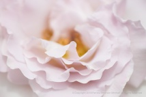 Pale Rose Petals, 5.11.17