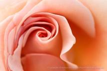 Pale_Rose_Swirl,_6.15.15