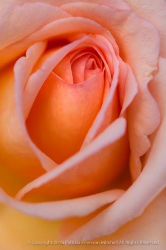 Pastel November Rose, 11.3.14