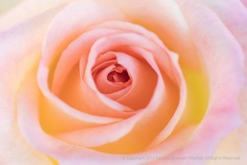 Pastel Rose, 10.23.17