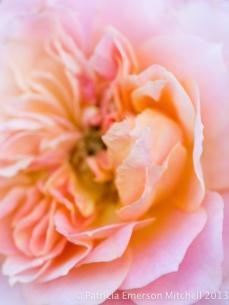 Pastel_Rose,_11.9.12