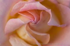 Pastel_Rose,_12.2.13