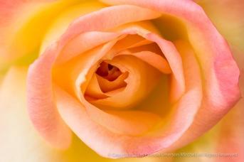 Pastel Rose, 5.2.16