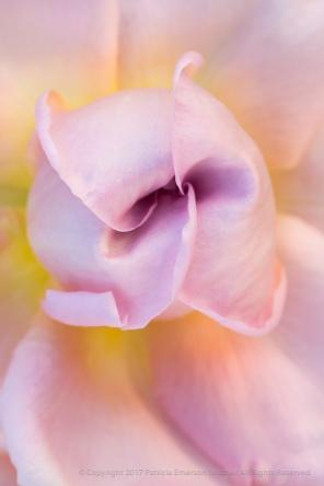Pastel Rose, 5.4.17