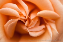 Peach_Rose,_5.18.15