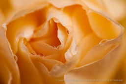 Peach_Rose_With_Raindrops,_12.17.14