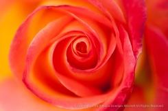 Perfect_Moment_Rose_(I),_4.1.15