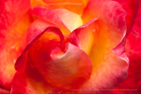 Perfect Moment Rose (II), 7.13.15