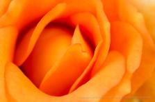 Persian Peach Rose, 4.17.17