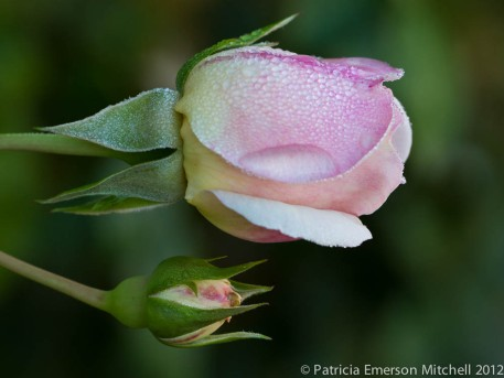 Pink Rose with Water Drops I