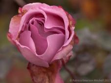Pink_Aging_Rose,_1.5.13