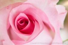 Pink_Birthday_Rose_(I),_11.20.15