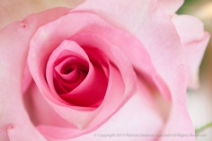 Pink_Birthday_Rose_(I),_11.20.15
