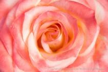Pink_Pastel_Rose,_3.27.14
