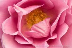 Pink Rose, 12.12.16