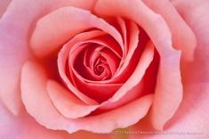 Pink_Rose_(I),_10.15.15