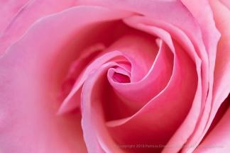 Pink Rose (I), 4.19.18