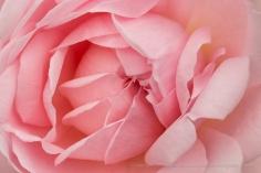 Pink Rose (I), 4.26.17