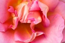 Pink_Rose_(I),_6.2.14