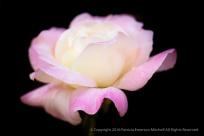 Pink & Cream Rose on Black, 5.16.16