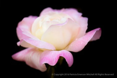Pink & Cream Rose on Black, 5.16.16