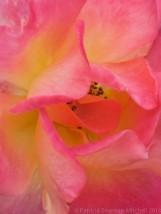 Pink_&_Yellow_Rose-_January_11,_2012
