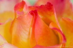 Pink_&_Yellow_Rose,_2.1.13