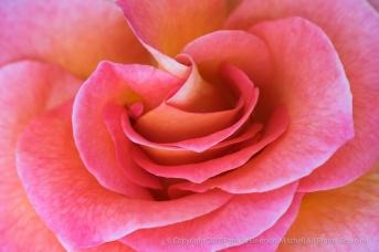 Pink_&_Yellow_Rose,_4.16.13